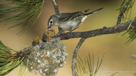 A Plumbeous Vireo Feeding Chicks
