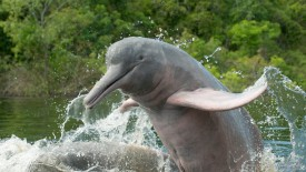 Amazon River Dolphin, Ariau River, Brazil