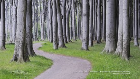 Beech Trees, West Pomerania, Meckenburg-Vorpommern, Germany