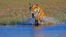 Bengal Tiger in Action, India