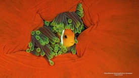 Blackfinned Anemonefish in Anemone