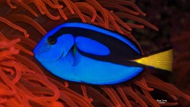 A regal or blue tang
