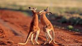 Boxing Red Kangaroos, Sturt National Park, Australia