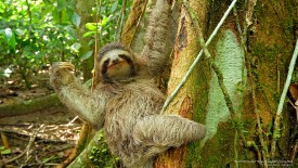 Brown-Throated Three-Toed Sloth, Costa Rica