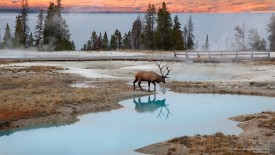 Bull Elk at Thermal Pools, Wyoming