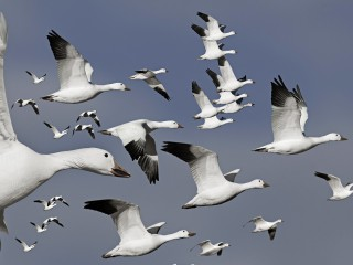 Flock of geese in flight