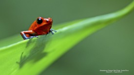 Strawberry Poison Dart Frog, Costa Rica