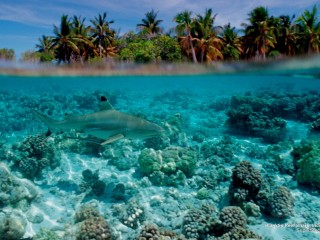 Blacktip Reef Shark, Indo-Pacific Ocean