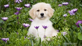 Golden Retriever Pup in Daisies