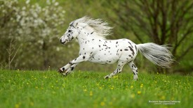 Miniature Appaloosa Galloping