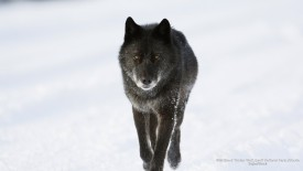Wild Black TImber Wolf, Banff National Park, Alberta