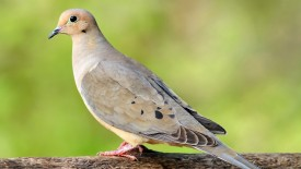 Beautiful Dove on a Tree