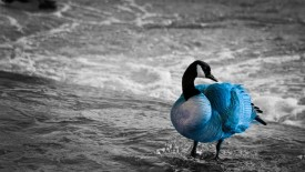Duck in Sea Blue Color
