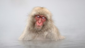 Japanese Macaque Monkey in Hot Springs, Jigokudani, Japan