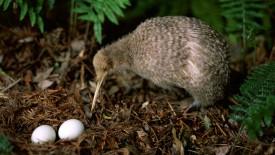 Kiwi Bird Watching Over Eggs, New Zealand
