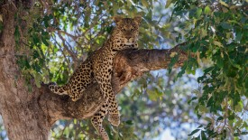 Leopard Predator in a Tree Branch