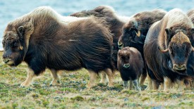 Musk Oxens