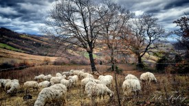Sheep Herd Pasture In Autumn Trees