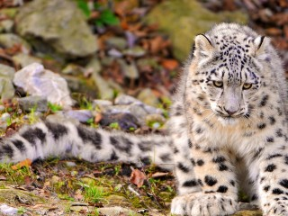 Snow Leopard in Autumn