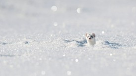 Stoat in Winter