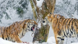 Tiger Fight in Snow