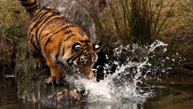 Tiger Hunting in Lake