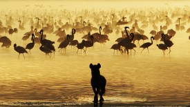 Watchful Lion Studying Flamingos, South Africa