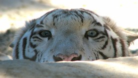 White Tiger Face Hiding