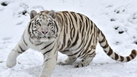 White Tiger in Winter Snow