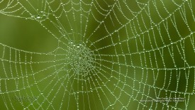 Dew Coated Orb Spider Web