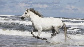 A Warmblood Galloping Along the Shore, Connemara, Ireland