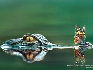 American Alligator and the Butterfly, Everglades National Park