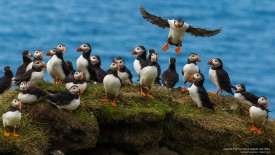 Atlantic Puffins, Faroe Islands, Denmark