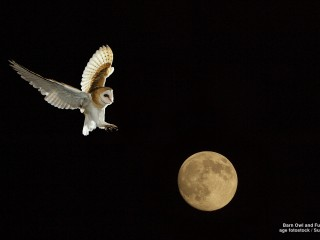 Barn Owl and Full Moon