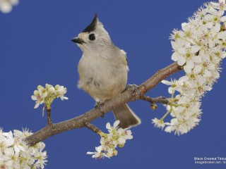 Black Crested Titmouse, Texas