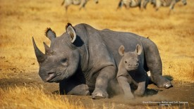 Black Rhinoceros Mother and Calf, Tanzania