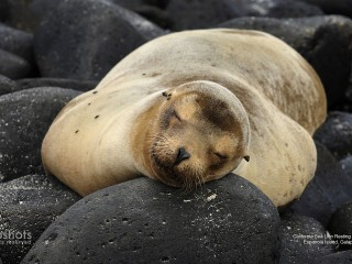 California Sea Lion Resting on Lava Rocks