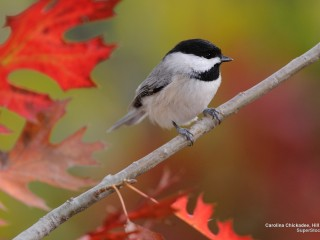 Carolina Chickadee, Hill Country, Texas