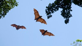 Fruit Bats in Flight, Sri Lanka
