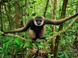 Gibbon, Tanjung Puting National Park, Borneo, Indonesia