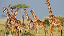 Giraffes in the Savannah, Masai Mara Reserve, Kenya