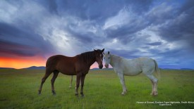 Horses at Sunset, Eastern Cape Highlands, South Africa