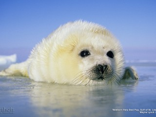 Newborn Harp Seal Pup, Gulf of St. Lawrence River