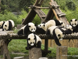 Panda Playground, Wolong Nature Reserve, China