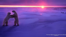 Polar Bears Fighting at Sunset, Cape Churchill, Manitoba
