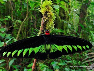 Rajah Brooke's Birdwing Butterfly, Cameron Highlands