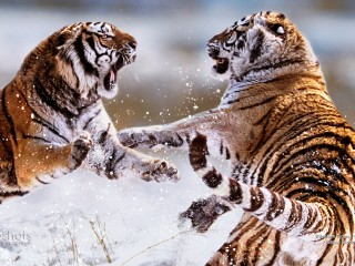 Siberian Tigers Fighting, China