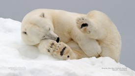 Sleeping Polar Bear, Svalbard, Norway