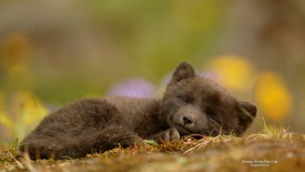Sleepy Arctic Fox Cub