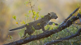 Young Leopard, Sabi Sands Conservancy, Mpumalanga Province, South Africa